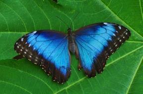 BlueAdmiralButterfly