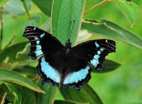 BlueAdmiralButterfly2