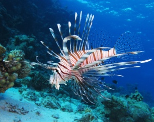 Blog Lion Fish