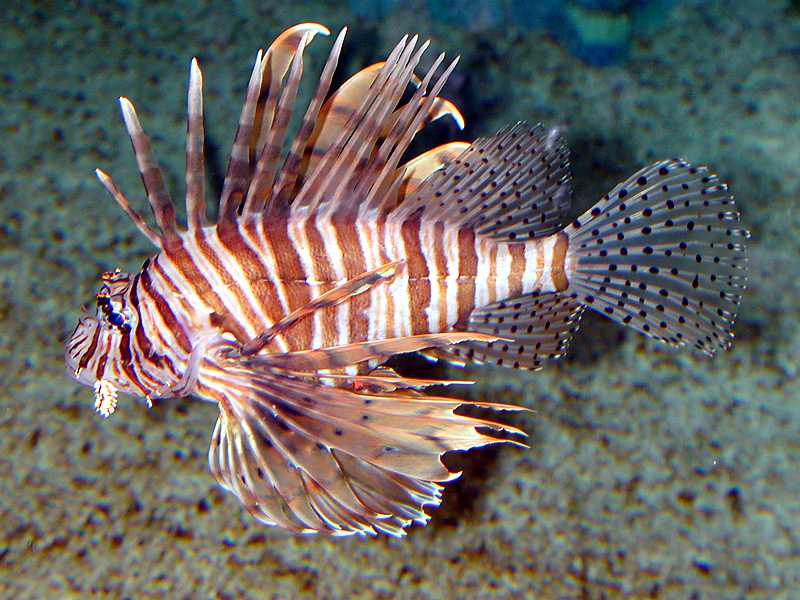 lionfish in the eastern caribbean by owen s v strider