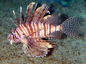 Blog Lion Fish:Spikefin