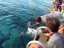 Feeding Tarpon knotted fish guts at Saba Rock