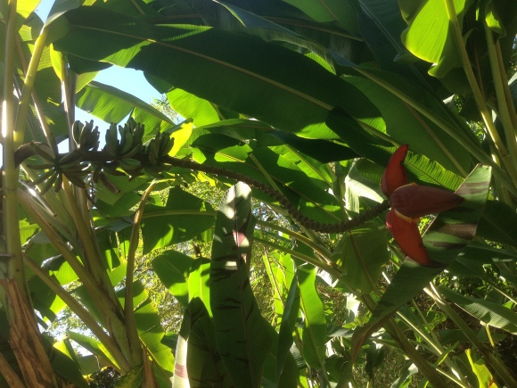 Bananas are an important crop on Guadeloupe
