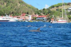 dolphin deshaies