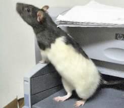 my-pet-dumbo-rat-spike-21471308